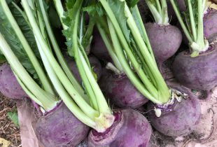 2020.11.17 木曽の伝統野菜「王滝かぶ」を収穫しました!