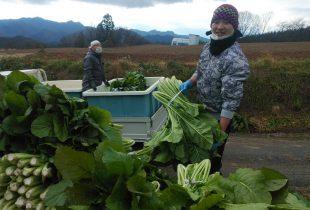 2020.11.26 聖高原の野沢菜の収穫を始めました!